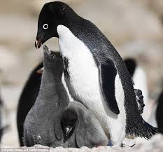 only two penguin chicks survive antarctica breeding season daily