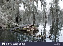 alligator bayou lake update louisiana bayou sw alligator stock photos bayou sw alligator stock