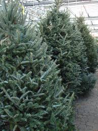 Plantable Christmas Trees Columbus Ohio by A Real Christmas Tree The Oak Leaf
