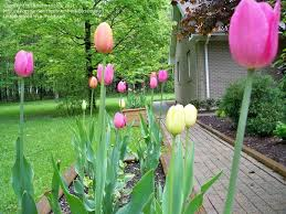 beginner gardening can i plant tulip bulbs i forgot to plant last