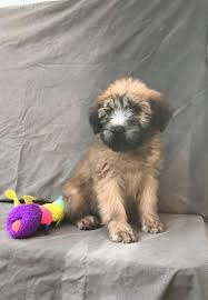 Do Wheaten Terrier Puppies Shed by Soft Coated Wheaten Terrier In Hoobly Classifieds