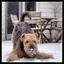 Airedale Terrier Non Shedding by 76 Best Airedale Terriers Images On Pinterest Airedale Terrier