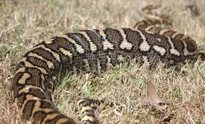 Coastal Carpet Python Facts by Coastal Carpet Python Brisbane Carpet Vidalondon