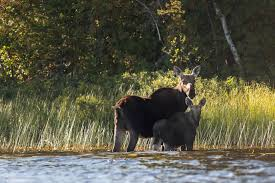 When Do Deer Shed Their Antlers Ontario by Interesting Facts About Moose Northern Ontario Travel