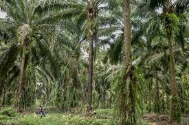 The Curse Of Palm Oil In Guatemala