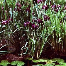 Knollwood Garden Center Tall Marginal Pond Plants Florida Newman