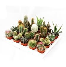 mini kakteen und sukkulenten set mit 20 pflanzen