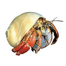 Do Hermit Crabs Shed Their Body by Hermit Crab Fish Goldfish Betta U0026 More Petsmart