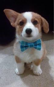 I can t resist the cuteness of a corgi pup d with a bow tie