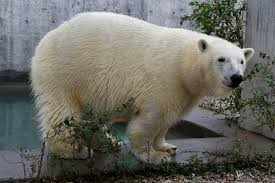 Toledo Zoo Halloween Events 2017 by Hope U0027 The Polar Bear Arrives At Hogle Zoo Fox13now Com