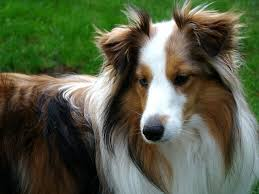 30 Dog Breeds That Shed The Most by 10 Best Medium Dog Breeds For Families Care Com Community