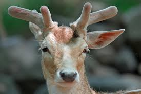 Does Deer Shed Their Antlers by Antlers Are Miraculous Face Organs That Could Benefit Human Health