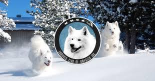 Do Samoyed Dogs Shed Hair by The Samoyed Samoyed Club Of America