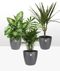luftreinigende pflanzen kaufen baldur garten