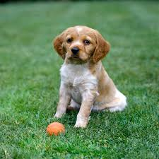 30 Dog Breeds That Shed The Most by Brittany Dog Breed Information