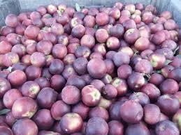 Pumpkin Patch Northwest Arkansas by Picking Arkansas Black Apples U2014 Mountain Fresh Orchards