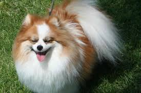 Small Non Shedding Dogs by Small Dog Breeds Pomeranian