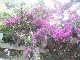 est ce normal que mon bougainvillier perde ses feuilles et fleurs