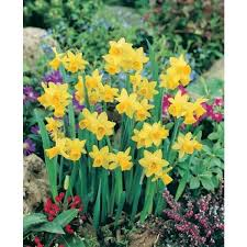 plant daffodil tete a tete rg pack of 5 bulbs most popular