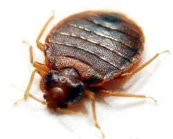 Treatment Bed Bugs – In Six Simple Steps