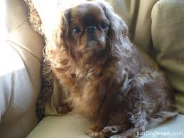 Low Shedding Dogs List by 17 Low Shedding Dogs List Cocker Spaniel 22 1 Jpg American