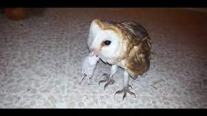 MY PET PUPO THE BARN OWL & THE MOUSE - YouTube 55 Best Owl Images On Pinterest Barn Owls Children And Hunting Owls How To Feed Keep An Owlet Maya A Brief Introduction The Common Types Of Six Reasons Why You Dont Want An Owl As Pet Bird Introducing Gizmo Baby Whitefaced Youtube 2270 Animals 637 Oh Meine Uhus I Love Owls My Barn Cat Baby By Disneyqueen1 Deviantart All Things Nighttime Predator Cute Animals