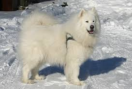 Do Samoyeds Shed All The Time by Archives For December 2014 Welcome To Your Pet Space