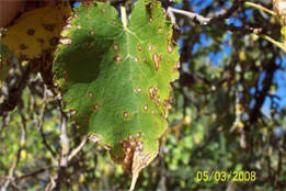 Mulberry Leaf Spot Phleospora Maculans