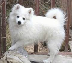 standard american eskimo dog breeds and photos and videos list