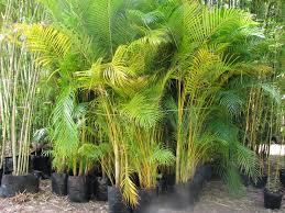 golden palm in pots palm sale bamboos wholesale