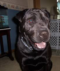 Do Shar Peis Shed A Lot by Lab Pei Shar Pei X Lab Mix Temperament Training Puppies Pictures