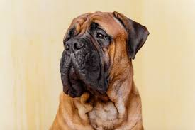 Cane Corso Mastiff Shedding by Cane Corso Dog Breed Information Buying Advice Photos And Facts
