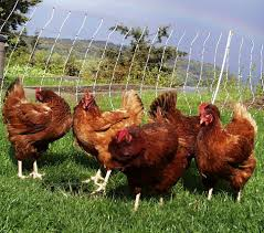 save money with backyard chickens