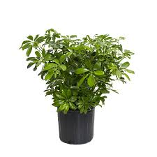Osh Potted Christmas Trees by Shop House Plants At Lowes Com