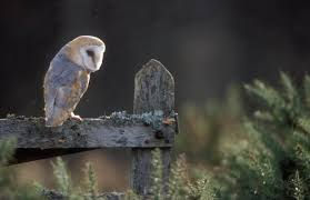 Wild Scotland Wildlife And Adventure Tourism | Birds | Birds Of ... Owls Loft Barn Owl Projects Warren Photographic Owls Snowy Saw Whets Watching Out For Part 1 The Official Blog The Molly Corfield Habichatter Twitter Australian Masked Owl Tyto Novhollandiae Birdsstrigiformes Tonys Desk Innovative Ipdent Informed Blog Natureslens By Jaewoon U On 500px Spirito Barbagianni Crafts Mobile Trust Injured Barn Rescued Wildlife Friends Foundation Thailand 13 Best Images Pinterest Cotswolds