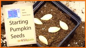 Fertilizer For Giant Pumpkins by How To Plant Seeds For Pumpkin And Seed Tips Basics For Gardening