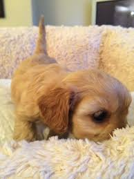 Cavapoos Do They Shed by Beautiful Cavapoo Puppy Leeds West Yorkshire Pets4homes