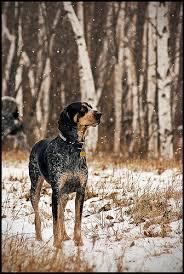 Do Bluetick Coonhounds Shed by Bluetick Coonhound Labrador Retriever Mix Too Cute Pinterest