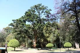 100 Pau Brazil FileCaesalpinia Echinata Brasil Parque Das Guas So