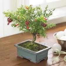 Ebay Christmas Trees India by Pomegranate Bonsai Tree The Green Head