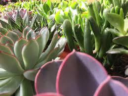 entretien plante grasse d interieur plantes d intérieur jardiland