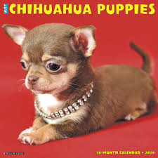 100 Where Is Chihuahua Located Puppies 2020 Wall Calendar