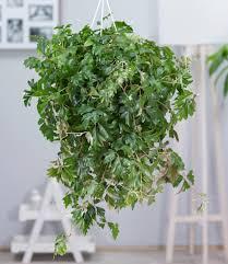hängepflanze cissus 1 pflanze zimmerpflanze kaufland de