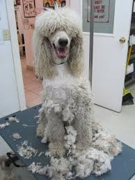 Dogs That Shed Hair by When The Puppy Fur Sheds And The Poodle Hair Grows Page 2
