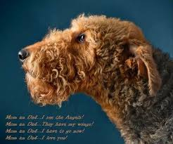 Airedale Terrier Non Shedding by 736 Best Airedales Images On Pinterest Airedale Terrier