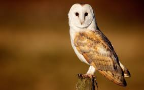 Discovery Education Kids - Barn Owl 2016 - YouTube Common Barn Owl 4 Mounths In Front Of A White Background Stock Royalty Free Images Image 23603549 Known Photo 552016159 Shutterstock Owl Wikipedia 644550523 Mdc Discover Nature Tyto Alba Perched On A Falconers Arm At Daun Audubon Field Guide Mounths Lifeonwhite 10867839 Barnowl 1861 Best Owls Snowy Saw Whets Images Pinterest Photos Dreamstime