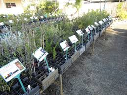 Christmas Tree Species For by Native Garden Guide Archives Australian Native Nursery