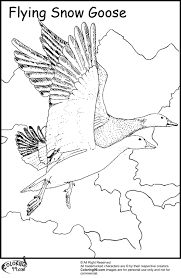 Flying Snow Goose Coloring Pages