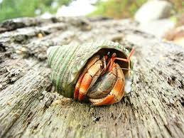 Do Hermit Crabs Shed Their Legs by 184 Best Hermit Crabs Images On Pinterest Hermit Crabs Hermit