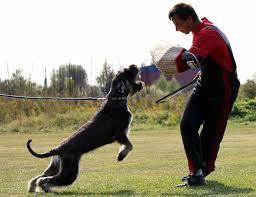 Do Giant Schnauzers Shed by Giant Schnauzer Dog Breed Standards